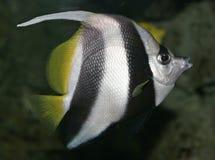 Mooie tropische vissen Royalty-vrije Stock Afbeelding