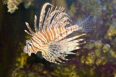 Mooie tropische vissen Royalty-vrije Stock Foto's