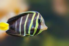 Mooie tropische vissen vlinder-vissen Stock Foto