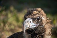 Mooie trotse adelaar Stock Afbeelding