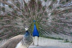 Mooie trotse pauw Royalty-vrije Stock Foto's