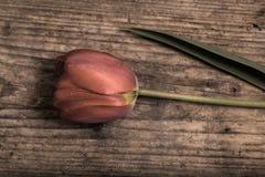 Mooie tulp Royalty-vrije Stock Afbeeldingen