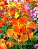 Mooie Tulpen Royalty-vrije Stock Foto