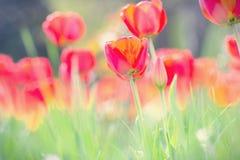 Mooie Tulpen Stock Afbeeldingen