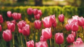 Mooie tulpen in de tuin stock footage