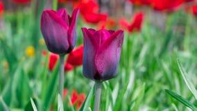Mooie tulpen die colorfully in de lente buiten bloeien royalty-vrije stock afbeelding