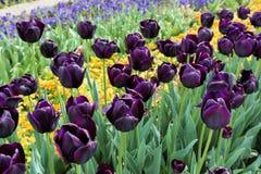 Mooie tulpen in een botanische tuin, Balchik, Bulgarije Royalty-vrije Stock Fotografie