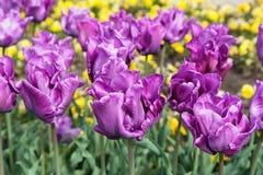 Mooie tulpen in een botanische tuin, Balchik, Bulgarije Stock Afbeeldingen