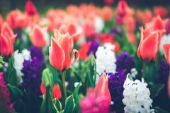 Mooie tulpen en hyacinten Bloeiende bloemen in beroemde Keukenhof royalty-vrije stock foto