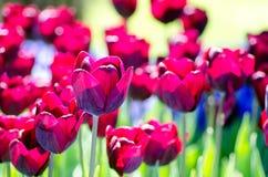 Mooie tulpen met donkere bloemblaadjes Koningin van de nachttulpen binnen Royalty-vrije Stock Foto