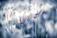 Mooie tulpen op gebied in grijze toon Stock Afbeeldingen