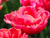 Mooie tulpen op gebied van florapark stock afbeelding