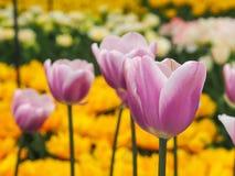 Mooie tulpen op gebied van florapark stock foto's