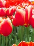 Mooie tulpen op gebied van florapark royalty-vrije stock afbeeldingen