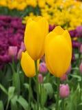 Mooie tulpen op gebied van florapark royalty-vrije stock afbeelding