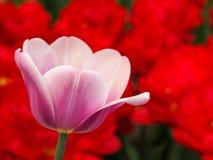 Mooie tulpen op gebied van florapark stock afbeeldingen