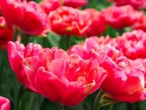Mooie tulpen op gebied van florapark royalty-vrije stock fotografie