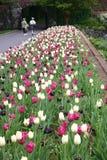 Mooie Tulpen in Tuin 2 Stock Afbeeldingen