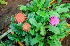 Mooie twee oranje gerbera en één roze gerberabloem in Gard Stock Foto's