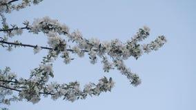 Mooie twijg van bloeiende Apple-boom in de lente op de achtergrond van een mooie blauwe hemel Mooi Natuurlijk Landschap stock video