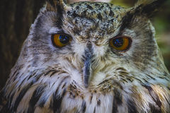 Mooie uil met intense ogen en mooi gevederte Stock Fotografie