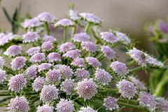 Mooie uiterst kleine bloemen met subtiele toon van roze purper en wit stock afbeelding