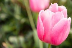 Mooie uitstekende roze tulp stock foto's