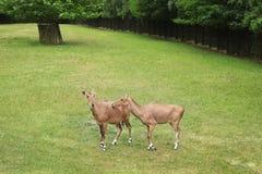 Mooie ungulate dieren op groen gras stock afbeeldingen