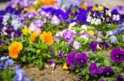 Mooie veelkleurige viooltjebloemen of pansies installatie met levendig F royalty-vrije stock afbeeldingen