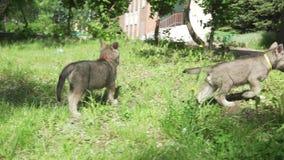 Mooie vermakelijke puppy van Saarloos-wolfshond het spelen op groen gazon in de de lengtevideo van de parkvoorraad stock videobeelden