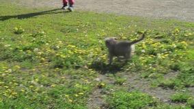 Mooie vermakelijke puppy van Saarloos-wolfshond het spelen op groen gazon in de de lengtevideo van de parkvoorraad stock video