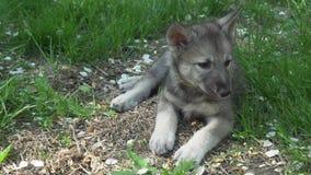 Mooie vermakelijke puppy van Saarloos-wolfshond het spelen op groen gazon in de de lengtevideo van de parkvoorraad stock footage