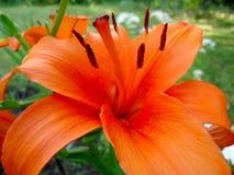 Mooie verse geurige bloeiende heldere rode lelies in de tuin, in de zomer in de tuin stock afbeelding