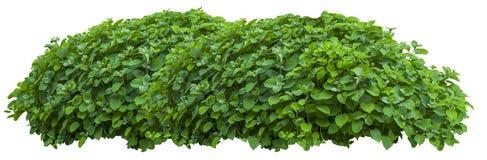 Mooie verse groene die struik op wit wordt geïsoleerd stock foto's