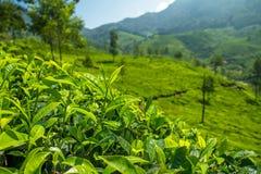 Mooie verse groene theeaanplanting in Munnar stock afbeelding