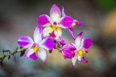 Mooie verse orchidee Royalty-vrije Stock Foto's