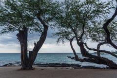 Mooie verwrongene bomen bij het strand op het Grote Eiland Hawaï royalty-vrije stock fotografie