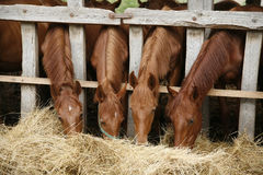 Mooie veulennen die vers hooi op een landelijke scène van het paardlandbouwbedrijf eten Royalty-vrije Stock Fotografie