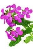 Mooie violette bloem. Close-up op witte achtergrond. Geïsoleerd. stock afbeelding