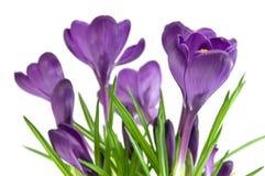 Mooie violette bloem die op wit wordt geïsoleerde stock foto's