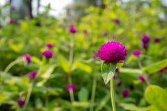 Mooie violette bloem op vage purpere bloemen en groene bladerenachtergrond royalty-vrije stock fotografie