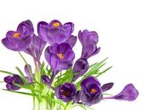 Mooie violette krokus stock afbeelding