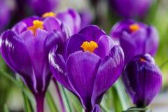Mooie violette krokussen royalty-vrije stock foto