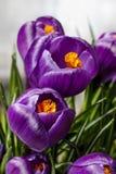 Mooie violette krokussen stock foto