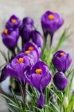 Mooie violette krokussen stock foto's