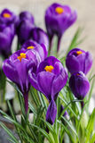 Mooie violette krokussen stock afbeeldingen