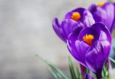 Mooie violette krokussen op grijze achtergrond stock foto's