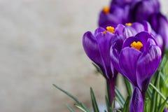 Mooie violette krokussen op grijze achtergrond royalty-vrije stock afbeelding