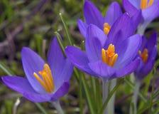 Mooie violette krokussenbloemen De vroege Lente Stock Afbeeldingen