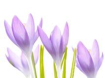 Mooie violette krokussenbloemen De vroege Lente Royalty-vrije Stock Fotografie